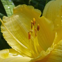 These anthers of Hemerocallis 'Lake Norman Winter,' a daylily cultivar, are in various stages of dehiscence. They present their pollen introrsely (toward the center of the flower) starting at their tips and moving toward the middle portion, which opens last. Photo © Mary Free