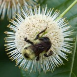 Bombus griseocollis (brown-belted bumble bee) on Cephalanthus occidentalis in July.Photo © Mary Free