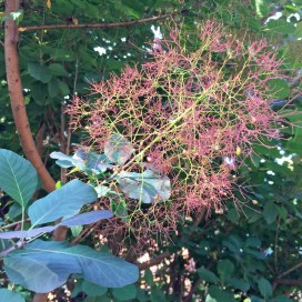 The airy filaments of Cotinus coggygria (smoketree) in May. Photo © Elaine Mills