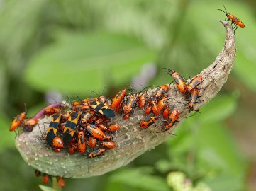 Follicle of mature native Asclepias syriaca (common milkweed) covered with adult large milkweed bugs and nymphs in September.Photo © Mary Free