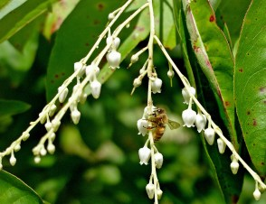 Native Americans and colonists found medicinal uses for the nectar and sap of Oxydendrum arboreum (sourwood). Today, monofloral sourwood honey produced by European honey bees is highly prized.Photo © Mary Free
