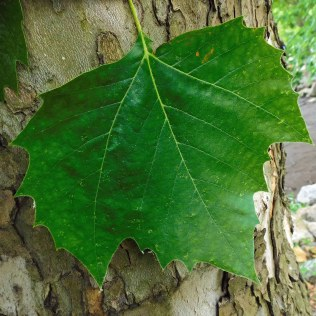A palmate leaf of native Platanus occidentalis (American sycamore) in May. It can sometimes be mistaken for maple leaves so mottled bark is often used as a diagnostic tool for identification.Photo © Christa Watters