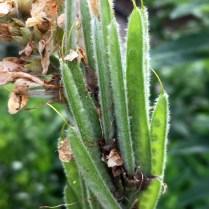 Villous seed pods of Thermopsis villosa (Aaron's-rod) in June. Photo © Elaine Mills