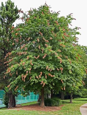 Flagging will not damage a healthy Quercus palustris (pin oak) of this size. Photo © Mary Free