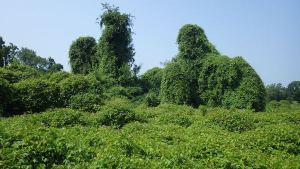 invasive plants covering trees