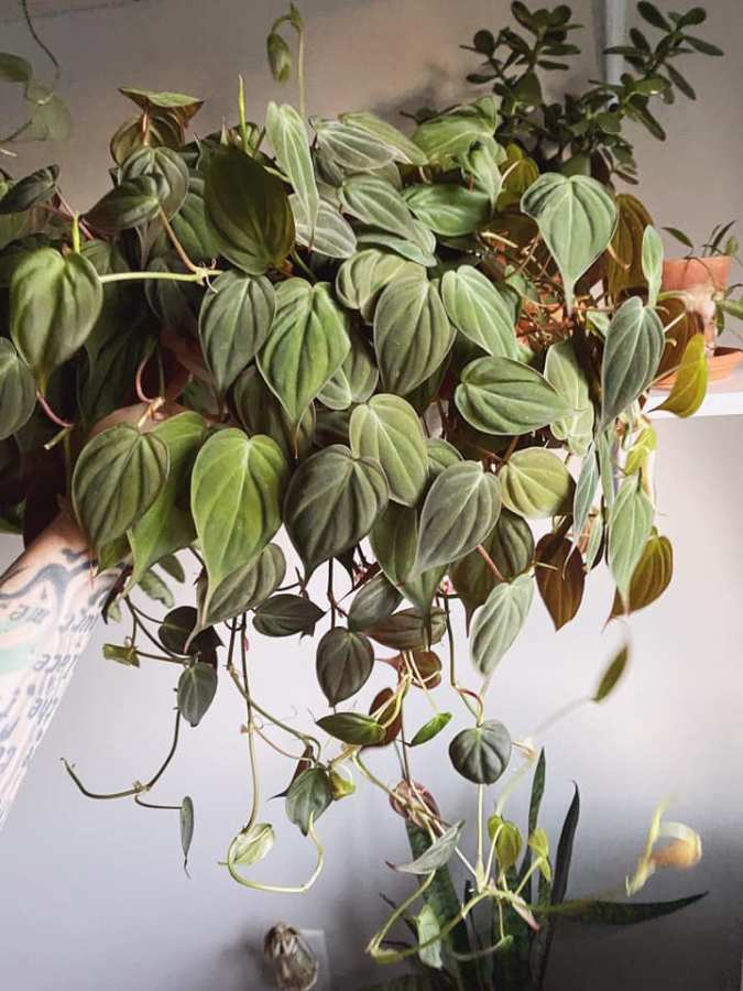 Hanging Philodendron hederaceum 'Micans' plant with small textured leaves