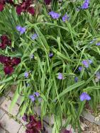 Tradescantia virginiana (spiderwort) at the Glencarlyn Library Community Garden in May. Photo © Elaine Mills