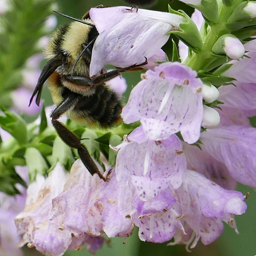 An American bumble bee takes nectar inside the bilabiate flower of Physostegia virginiana (obedient-plant) in September.