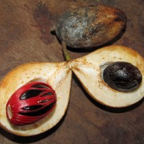 The drupes of Myristica fragrans (nutmeg) produce two spices, mace from the red arils and nutmeg from the dark inner seed. Photo courtesy of O. Mustafin