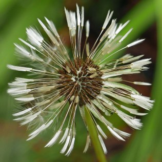 Closed pappus plumes of Taraxacum erythrosperum (red-seeded dandelion) at 8:50 a.m. with reative humidity at about 74%. Photo © Mary Free