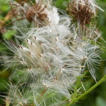 Pappi of plumose bristles of native Cirsium (thistle) in September.Photo © Mary Free