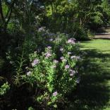 Aromatic aster is an important late nectar source