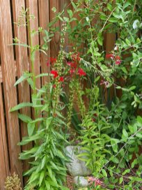 49-inch high Erechtites hieraciifolius grows behind native Lobelia cardinalis on September 8, 2021 in a hummingbird garden. Lonicera sempervirens vines are in the background. Photo © Mary Free