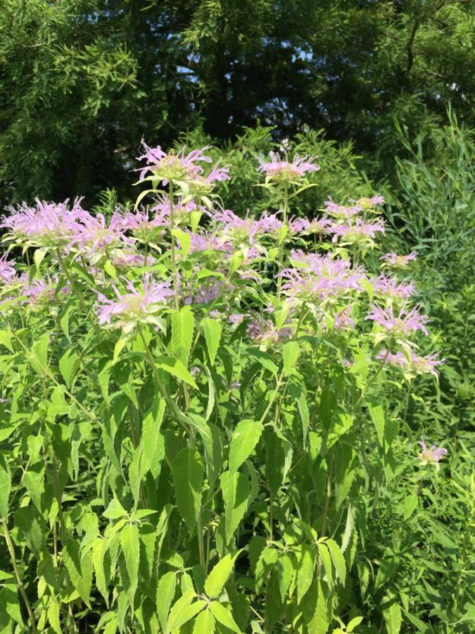 Mass of blooming wild bergamot