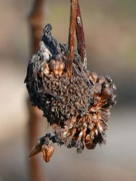 Persistent fruits of Cephalanthus occidentalis (buttonbush) exposing nutlets in January. Photo © Mary Free