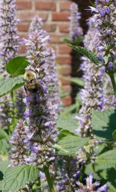 Terminal spikes of small, dense verticllasters of Agastache foeniculum (blue giant hyssop) with a two-spotted bumble bee in May. Photo © Mary Free