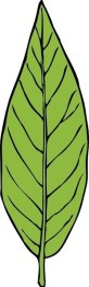 illustration showing the shape of a lanceolate leaf