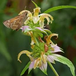 A sachem skipper feeds on the bilabiate flowers of Monarda punctata in September. Photo © Mary Free