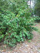 Callicarpa americana (American beauty-berry) shrub at the Norfolk Botanical Gardens in October. Photo © Elaine Mills