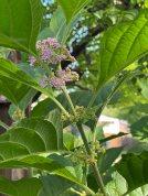 Callicarpa americana (American Beauty-berry) buds and flowers in July.Photo © Elaine Mills
