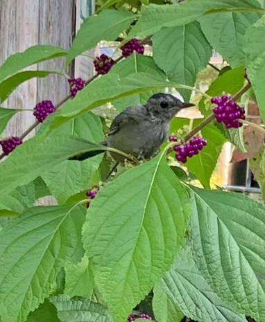 A juvenile catbird eyes the fruit of Callicarpa americana (American beauty-berry) in September. Photo © Alyssa Ford Morel