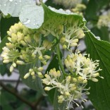 Flat-topped cymes of native Cornus alternifolia (alternate-leaf dogwood) in May. Photo © Elaine Mills