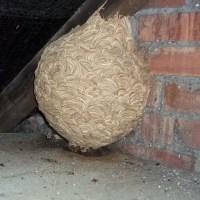 Got a Wasp Nest