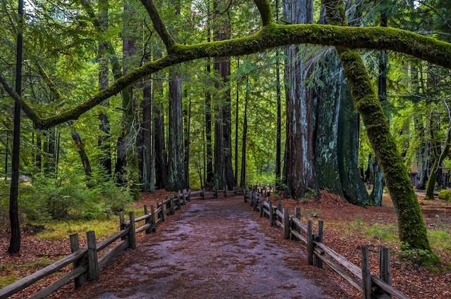 Humboldt County, redwood trees
