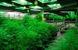 Oregon growers over producing marijuana