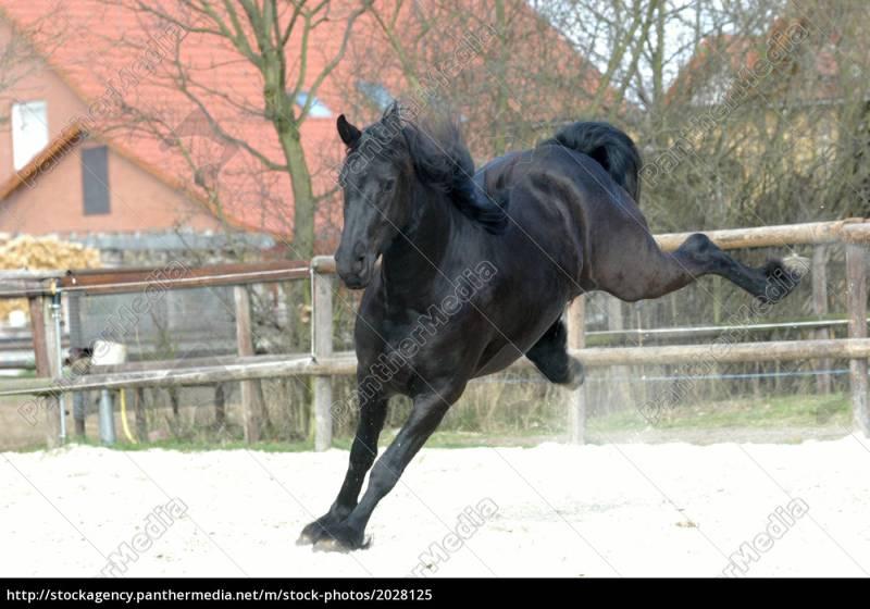 Auskeilende Friesenstute - Lizenzfreies Bild - #2028125 | Bildagentur  PantherMedia