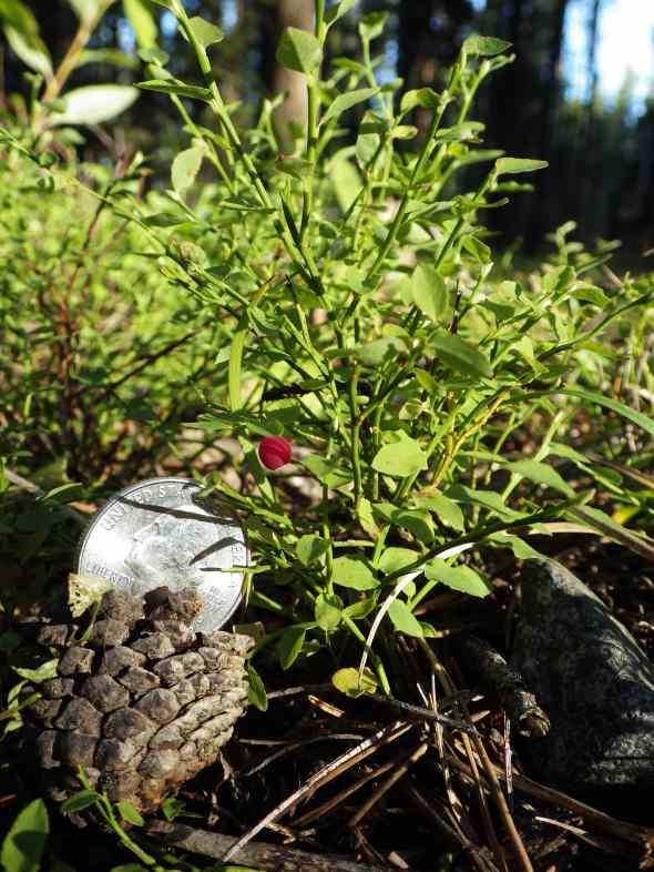 Tiny Huckleberry!