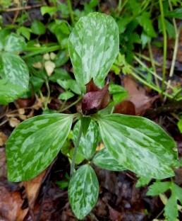 8. Prairie Trillium