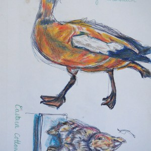 Shelduck and Eastern Cottontail