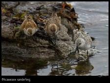 Bécasseaux Sanderling (de droite à gauche : trois stades vers le plumage nuptial)