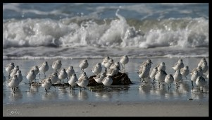becasseaux sanderling