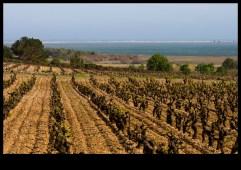 Les vignes de l'île St Martin