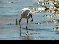 l'Aigrette et sa pêche