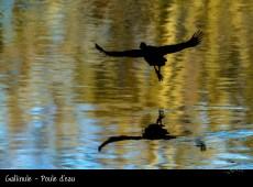 Gallinule - Poule d'eau