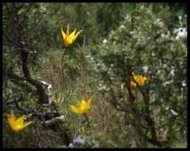 Tulipe australe