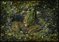 grenouille-1351