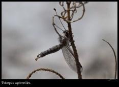 Bubopsis agrionides
