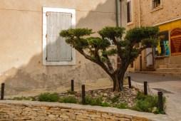 L'olivier de Peyriac