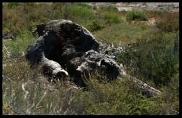 Sculpture : le dino blessé