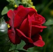 rose_0825