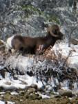Colorado Big Horn Sheep