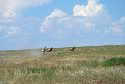 A buck and two doe antelope high tail it as they realize we are stalking them.