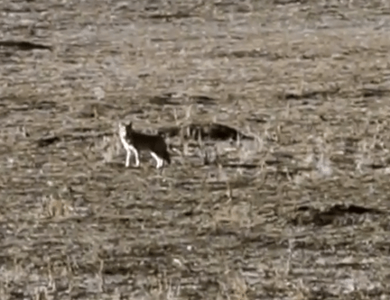 Coyote carrying prairie dog