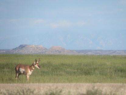 young-antelope-buck-by-Lea-Leggitt