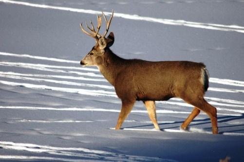 CPW-Mule-Deer-Buck-Big-Game-Processing-Colorado-6439559e-1c7d-4ec6-b288-d5b27703b15b