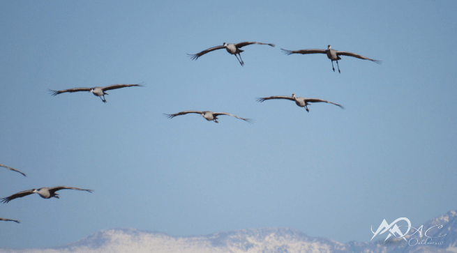 Sandhill-crane-migration-flight-Mia-Anstine-photo